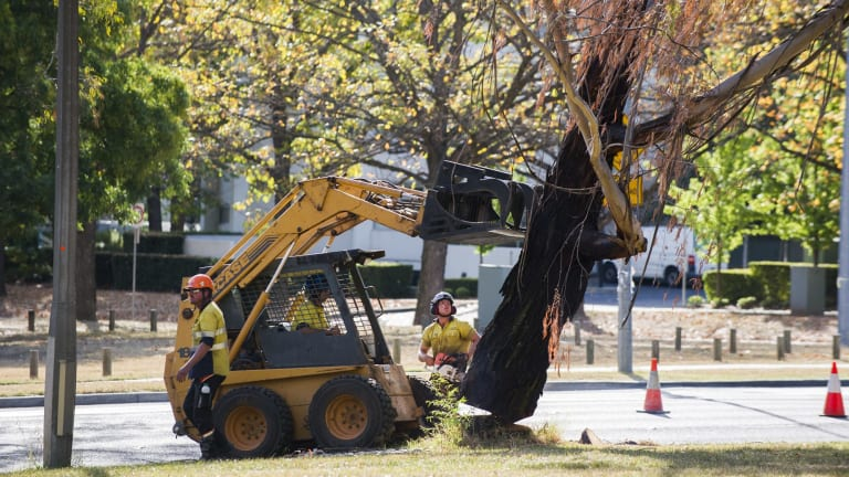 Tree removal at Northbourne Avenue in  April. More removals begin on Monday.