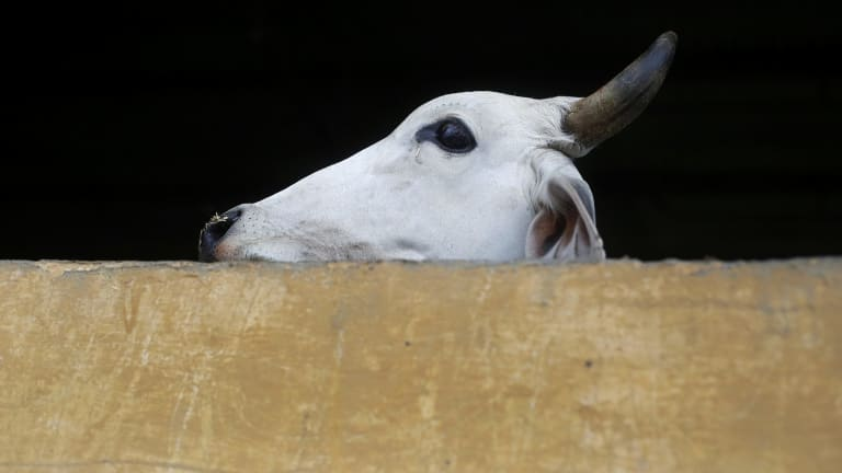 A cow stands at a shelter that harvests cow urine for theraphy in India.  Prime Minister Narendra Modi has introduced programs to protect the animals and support industries derived from their waste.
