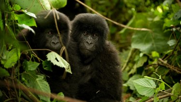 Baby gorillas in the forest in the Congo.