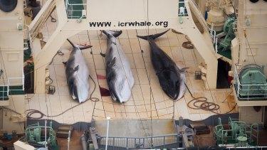 Minke whales on the deck of the Japanese factory ship Nisshin Maru