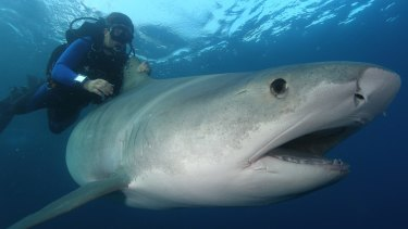 Researchers tagged about 10 sharks in the five year study.