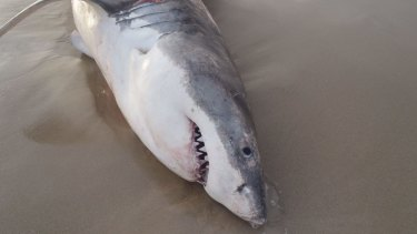 The death of the great white shark near Geraldton is being investigated by Fisheries.