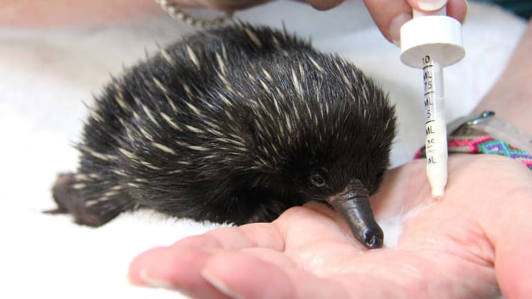 Feeding time: Bonsai, the baby echidna feeds from Annabelle Sehlmeier's hand, only stopping to blow milk bubbles out its nose.