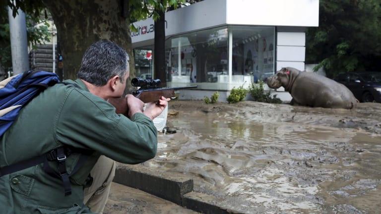 A man shoots a tranquiliser dart at the hippopotamus.