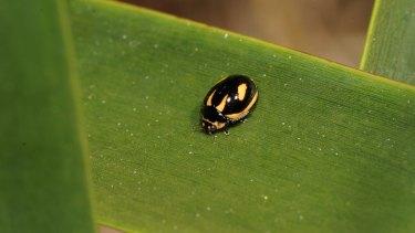 Wily one: the rediscovered ladybird, Micraspis flavovittata.