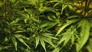Supporters of medical cannabis have long argued the potential health benefits for sufferers of chronic disease.