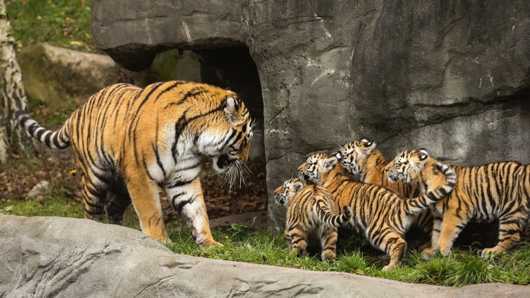 Yasha plays with his offsprings in an animal park in Hamburg, Germany.