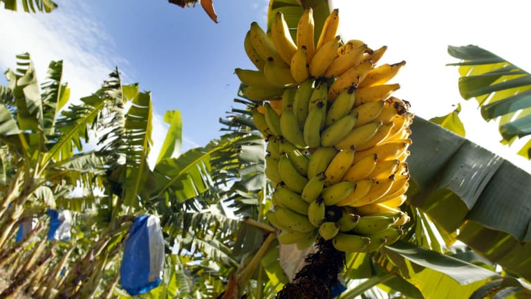 The demise of the Cavendish banana is only a matter of time.