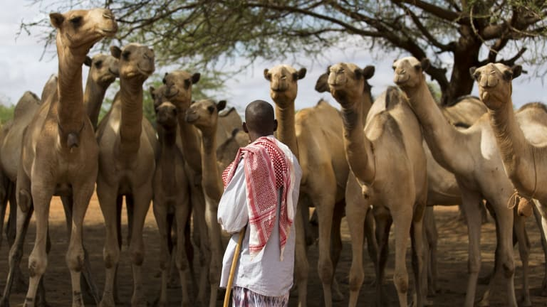 A man inspects camels for sale at the livestock market in Mandera, Kenya. A proposal to build an enormous barrier along the border with Somalia has caused intense debate in the town.
