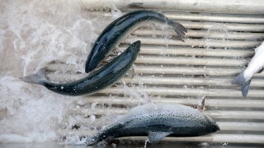 Tasmanian salmon producer Huon has reduced its use of antibiotics and says drugs were an option of last resort.