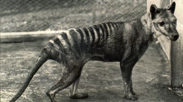 Tragic tale: The last known Tasmanian tiger, seen in 1936, the year it died in a Hobart zoo.