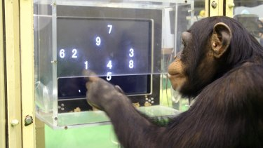 Intelligence: A chimpanzee named Ayumu performs a memory test with randomly placed numbers on a touchscreen computer in Japan.
