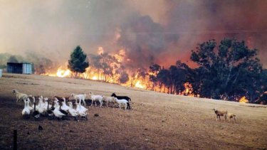 Sampson Flat fire front in the Adelaide Hills approaches goats and geese in a field.