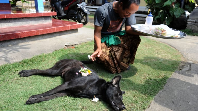 An emotional Ketut Pujana after his dog was killed in a dog elimination in Aan village, Klungkung as part of the battle against rabies.