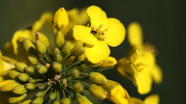 An insect crawls over a rapeseed flower in a farmer's  paddock. Might it have a sense of purpose?