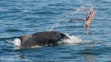 """The dolphin """"tenderises"""" the octopus."""