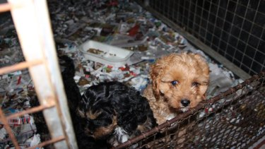 """Caged animals are the norm at a pet """"breeding mill"""" at Uralla, NSW."""