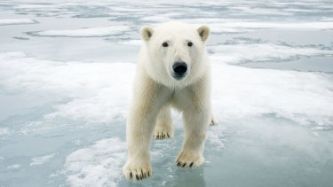 A polar bear off the coast of Svalbard, Norway.