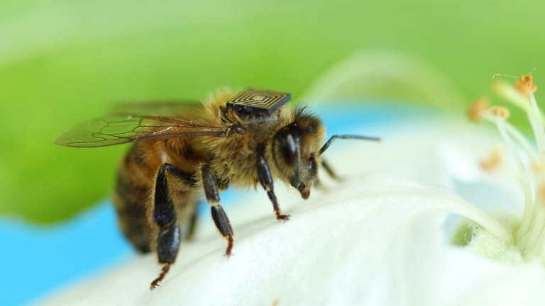 Sensors are being rolled out across the backs of four Tasmanian swarms this summer in world-first CSIRO research to track the movements of thousands of bees in the wild.