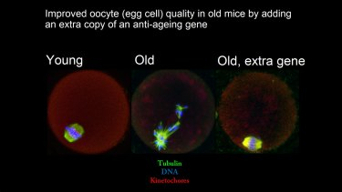 A slide showing the improvement in egg cell quality in mice, after an extra copy of a sirtuin gene was added.