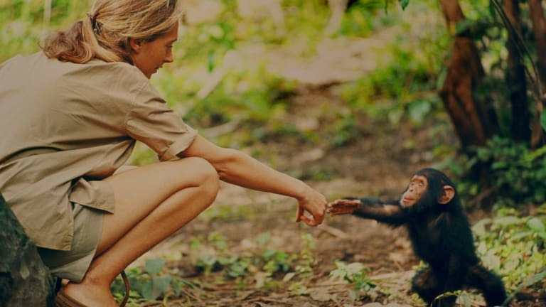 Jane Goodall and infant chimpanzee Flint in Gombe National Park, Tanzania, in the early 1960s. Sadly, Flint died only a few years later, bereaved by the loss of his mother, Flo.