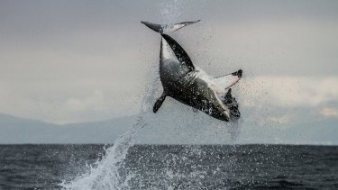 A great white shark leaps from South African waters to catch a fur seal in the documentary series <i>Shark</i>.