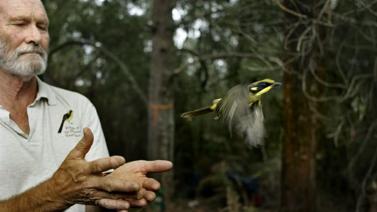 Bob Anderson releases a Helmetted Honeyeater.