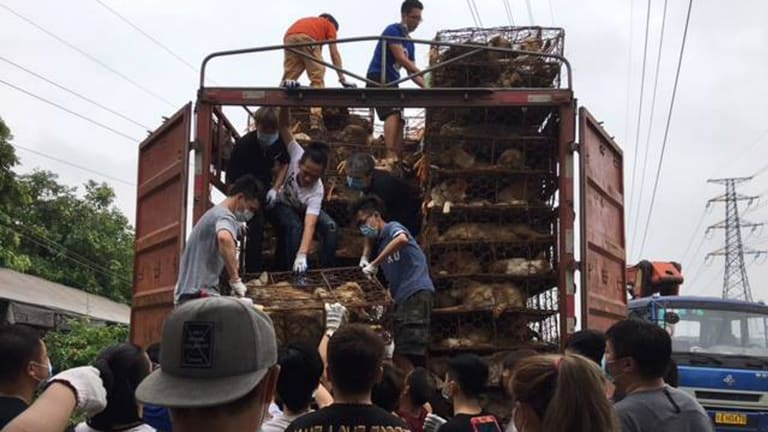 More than 100 Chinese activists rescue dogs and cats from a truck headed to slaughterhouses in Guangzhou province.