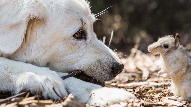 Unlikely match: Guardian dogs are being trained - initially with plush toys - to protect endangered eastern barred bandicoots before they are released into the wild together.