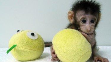 Healthy baby: Cloned monkey Hua Hua.