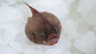 The coffin fish found a kilometre below the surface.