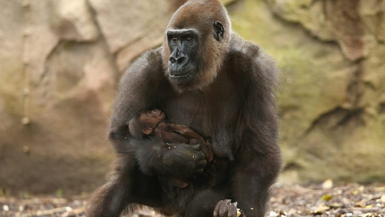 Gorilla mother Frala holds her newborn baby, which is still to be named as Taronga Zoo keepers are yet to determine the baby gorilla's sex.
