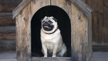 Funny pug dog in the dog house Thinkstock your home features dog house dog people generic