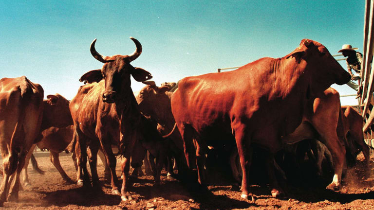One element of the Northern Australia White Paper is extra support for the cattle industry costing up to $100 million.
