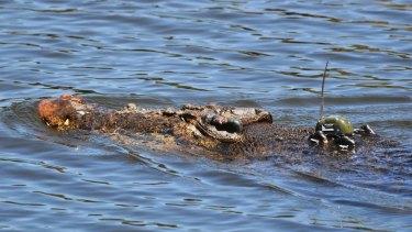 A crocodile with a GPS tracking device.
