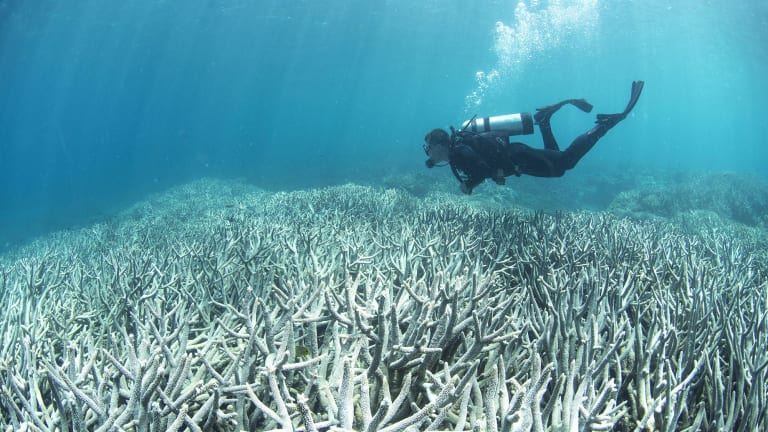 A diver checking out the bleaching at Heron Island in February 2016. This area was one of the first to bleach at Heron Island, which is located close to the southern most point of the Great Barrier Reef.