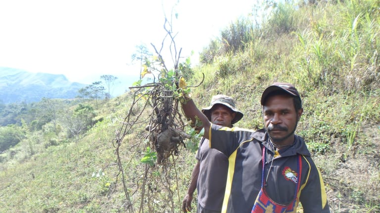 PNG highland crops hit by frost and drought.