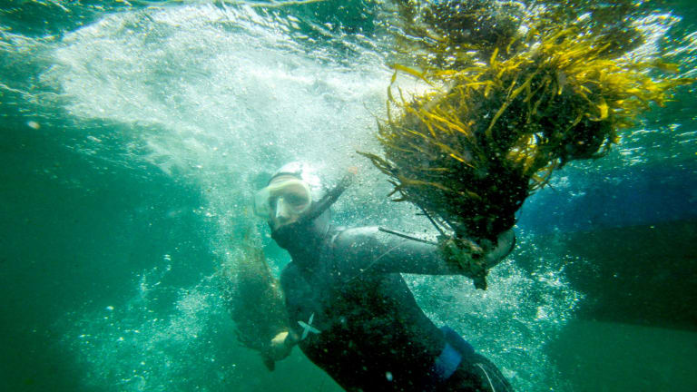 Researchers want to replant crayweed from Palm Beach to Cronulla.