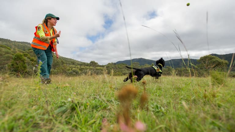 Hillary Cherry, NSW National Parks and Wildlife Service weeds management officer, rewards her weed detection dog Sally, at Namadgi National Park.