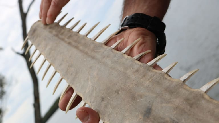 The rostrum, or snout, of a sawfish.
