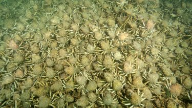 Great Spider Crabs on the floor of Port Phillip Bay. Picture supplied by Sheree Marris.