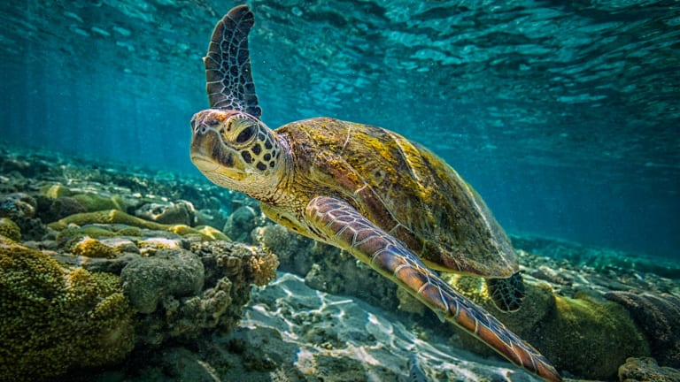 Green turtles have a problem if all offspring turn female, as is already nearly the case at one study site in the northern Great Barrier Reef.