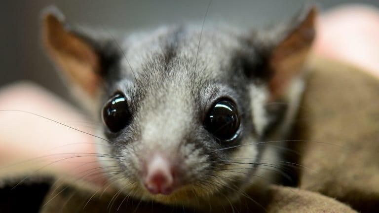 Endangered species: The Leadbeater's possum, Victoria's faunal emblem.
