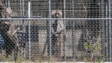 A baboon, part of a colony breeding program, sits behind security fencing at the National Health and Medical Research Council facility in Wallacia in Sydney's west.