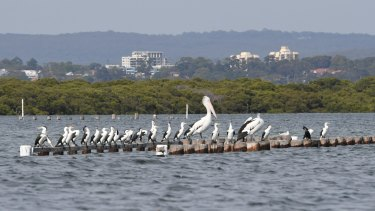 An Australian pelican with pied cormorants on the south-east side of Botany Bay. The bay is an annual summer feeding ground for several species of migratory waders including godwits, curlews, sandpipers and snipes. These intrepid birds fly thousands of kilometres from Siberia and Alaska and arrive exhausted and starving to feed on the tidal flats at Sans Souci and other areas around Botany Bay.