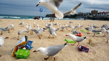 Rubbish at Bondi Beach attracts the interest of a large group of seagulls.