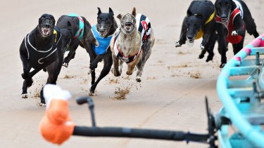 End is night: Greyhound racing is set to wind up in NSW by July 1, 2017.