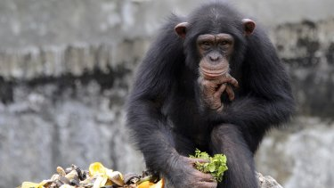 "Scientists have watched Bossou chimpanzees hold ""drinking sessions"" in Guinea."