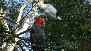 Two contrasting cockatoos in a Pearce garden.