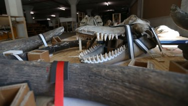 Whale bones and skeletons waiting to be moved to Castle Hill.